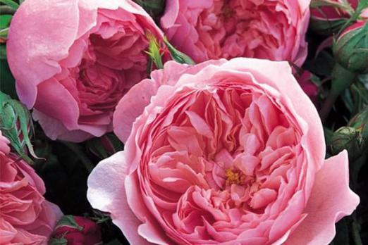 Зе Алнвик Роз (The Alnwick Rose)