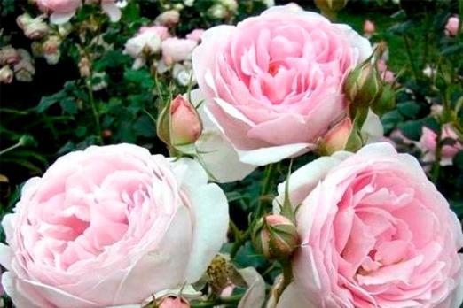 Вэджвуд Роуз (The Wedgwood Rose)