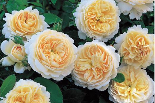 Крокус Роуз (Crocus Rose)