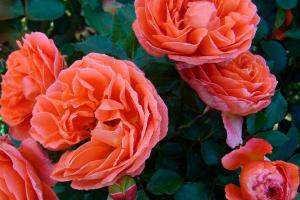Оранж Мейлав (Meilove Orange)