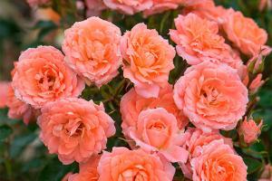 Флауэр Пауэр (Flower Power)