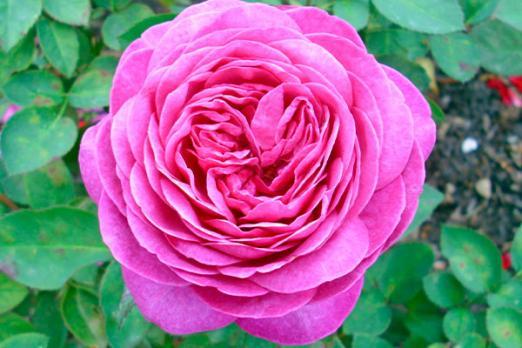 Хайди Клум (Heidi Klum Rose)