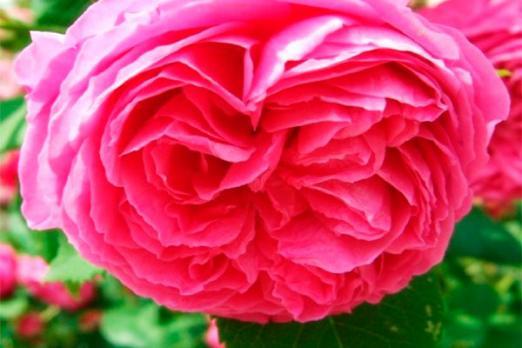 Пинк Мушимара (Pink Musimara)