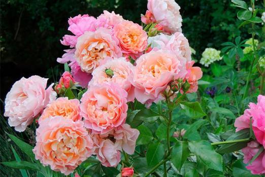 Роуз де Толбиак (Rose de Tolbiac)
