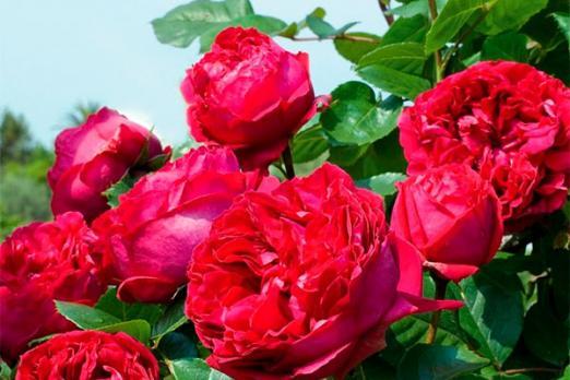 Рэд Эден Роуз (Red Eden Rose)
