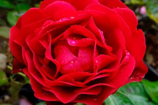 Фетцер Сара Роуз (The Fetzer Syrah Rose)