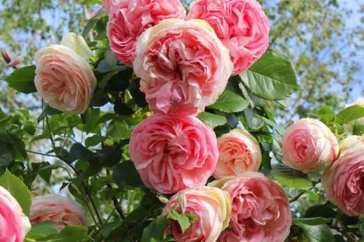 Эден Роуз (Eden Rose)