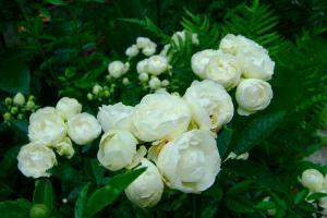 Уайт Морсдаг (White Morsdag)