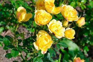Йеллоу Фейри (Yellow Fairy)