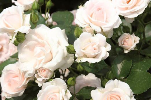 Аспирин Роуз (Aspirin Rose)