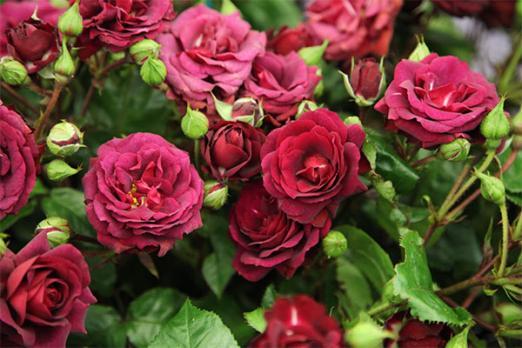 Кэти Роуз (Katie's Rose)