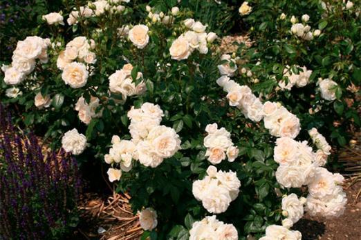 Лионс Роуз (Lions Rose)