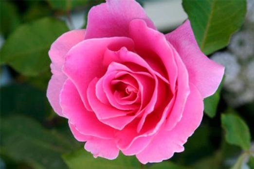 Пинк Оушен (Pink Ocean)