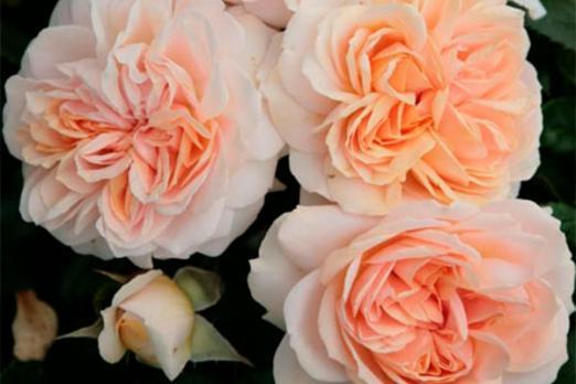 Гарден оф Роузес (Garden of Roses)