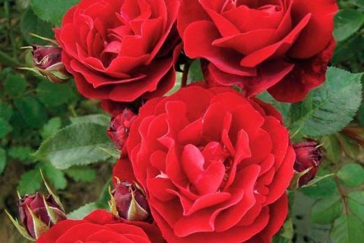 Ред Абанданс (Red Abundance)