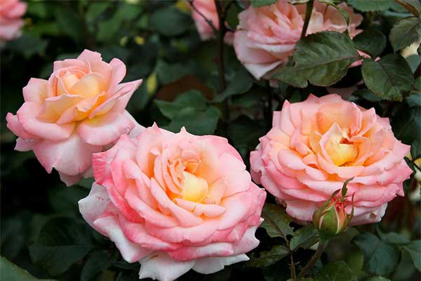 Блум оф Рут (Bloom of Ruth)