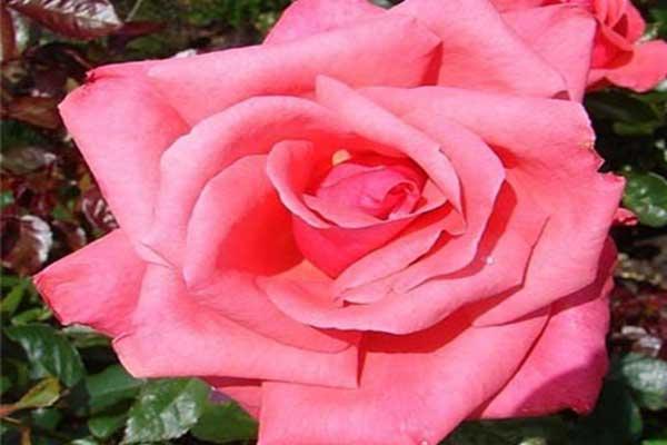 Эббифилд Роуз (Abbeyfield Rose)