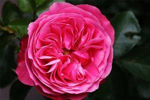 Пинк Леда (Pink Leda)