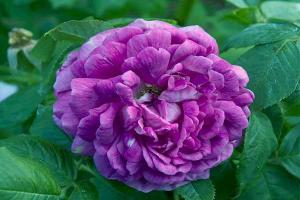Рейн де Виолетт (Reine des Violettes)