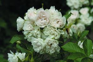 Вайт Гроотендорст (White Grootendorst)