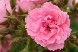 Пинк Гроотендорст (Pink Grootendorst)