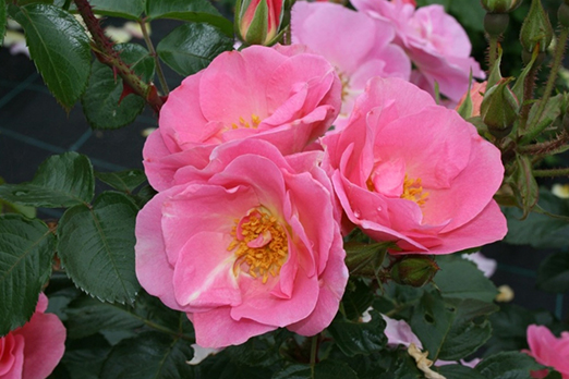 Пинк Робуста (Pink Robusta)