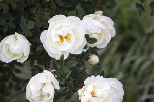 Росе Спиносиссима (Spinosissima)
