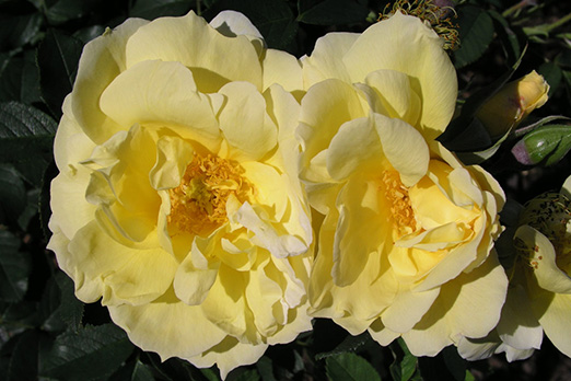 Уеллов Дагмар Хаструп (Yellow Dagmar Hastrup)