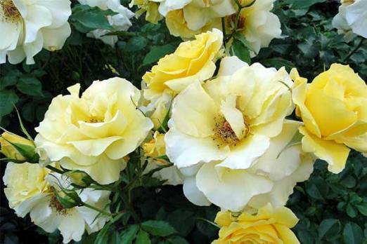Уеллоу Робуста (Yellow Robusta)